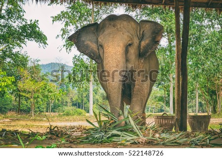 Asian elephant eating green grass and looking at camera, surface texture background, alive wild animal, travel in Koh Chang island, Thailand. Soft focus