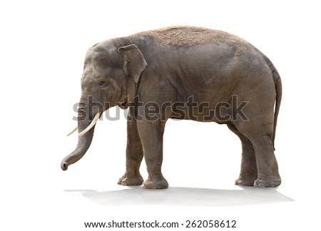 Asian elephant (Elephas maximus)  on white background - stock photo