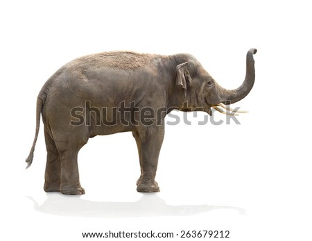 Asian elephant (Elephas maximus) on white background
