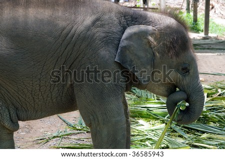 asian elephant (Elephas maximus), the largest living land animal in Asia