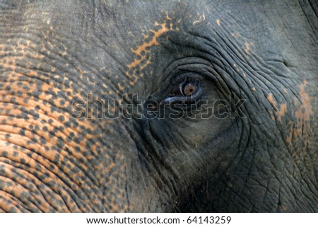 Asian elephant eyes are looking - stock photo