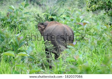 Asian elephant hiding in Sri Lanka jungle