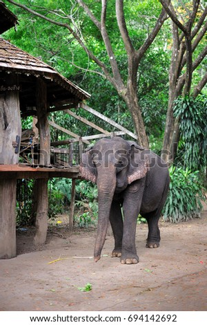 Asian elephant in Thailand.
