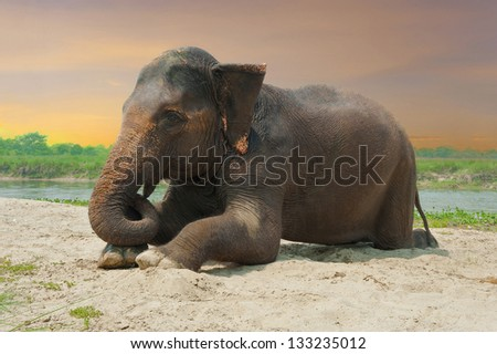 Asian elephant lying at the riverbank near jungle during sunset - stock photo