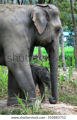 Asian elephant mother and baby,Chiang Mai,Thailand - stock photo