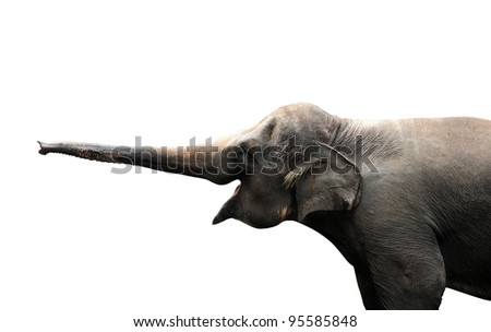 Asian elephant reaching out with it's trunk to sense isolated against white background. Clipping path included. - stock photo
