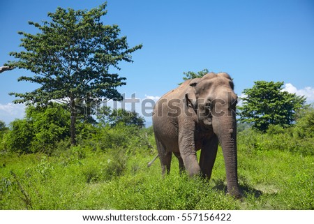 Asian elephant walking on the grass among green trees on Sri Lanka island.