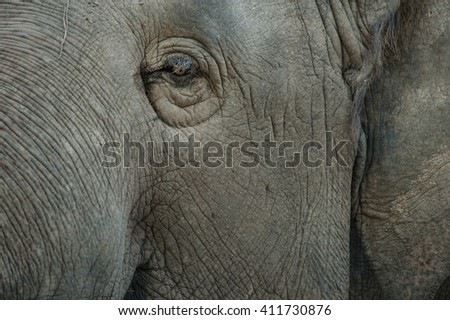 Asian elephant with skin texture. - stock photo