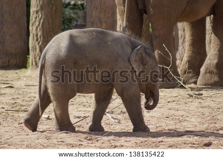 Asian Elephant within the Herd - Elephas maximus