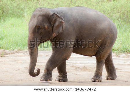 Asian elephants.Chang Thailand Elephant Conservation Center in Thailand. Hang Chat district, Lampang province, Thailand. - stock photo