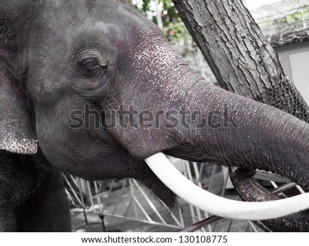 Asian elephants, elephant thailand, Close-up