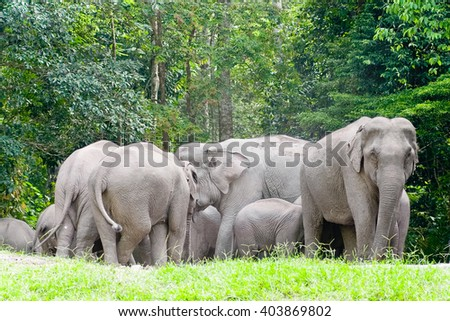 Asian elephants in Thailand 6