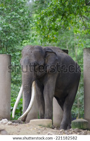Asian elephants, smaller than their African cousins, are highly endangered - stock photo