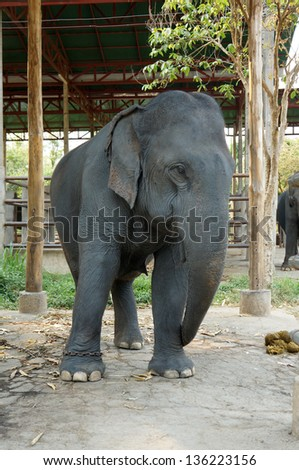 Asian elephants,thailand.