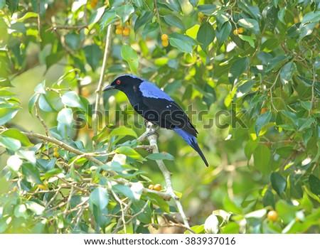 Asian Fairy Bluebird - stock photo