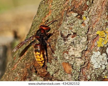 Asian giant hornet, Vespa mandarinia - stock photo