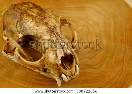 asian goldden cat  or Temminck's cat skull and canine on wood - stock photo