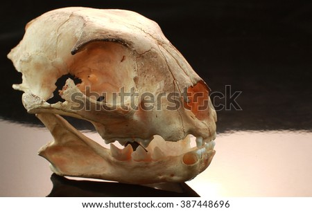 asian goldden cat skull on black background - stock photo