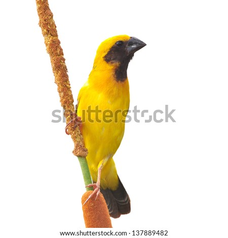 Asian Golden Weaver bird color isolated on white