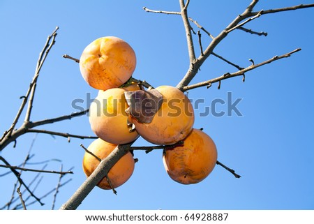 Asian (Kaki) persimmons on the tree - stock photo