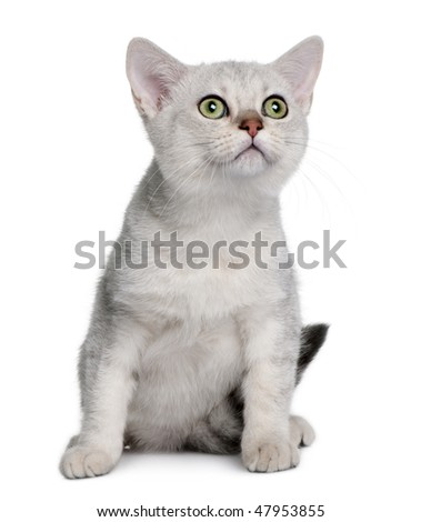 Asian kitten (4 months old) in front of a white background