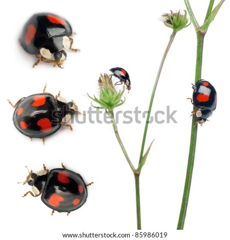 Asian lady beetles, or Japanese ladybug or the Harlequin ladybird, Harmonia axyridis, composition on plants in front of white background - stock photo