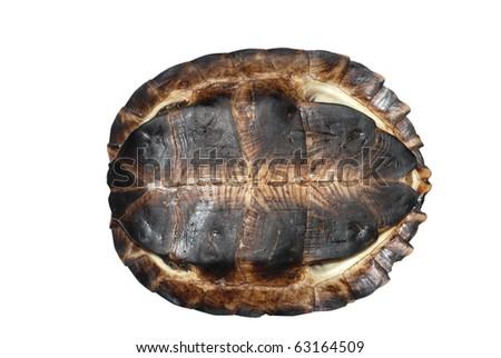 Asian leaf turtle (Cyclemys dentata) - stock photo