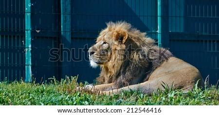 Asian Lion - stock photo