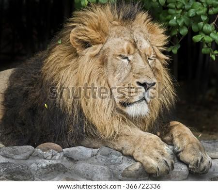 Asian lion. Latin name - Panthera leo persica - stock photo