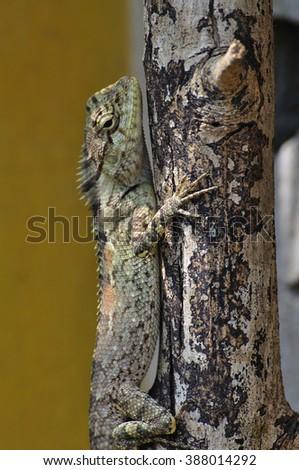 Asian lizard on wood stick - stock photo