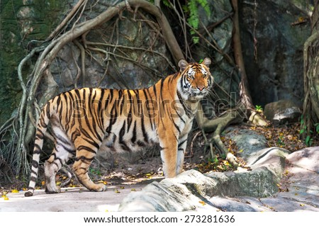 Asian- or bengal tiger standing with rock wall in background