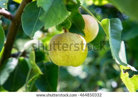Asian pear Nashi Hosui, Pyrus pyrifolia
