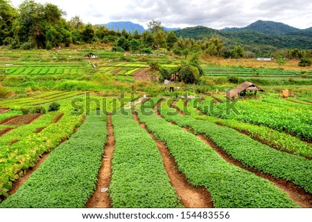 Asian plantation field with crop and a beautiful mountain landscape in the background - stock photo