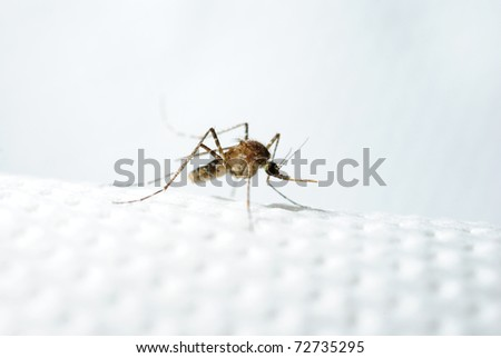 Asian Tiger Mosquito - stock photo