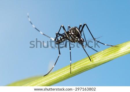 Asian Tiger Mosquito (Aedes albopictus) - stock photo