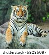asian tiger on rock - stock photo