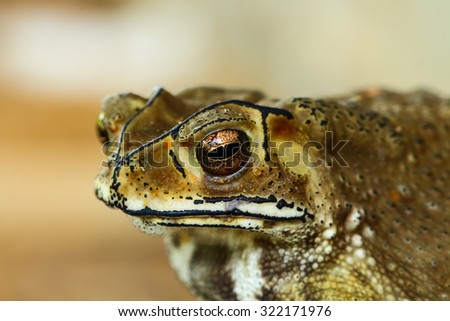 Asian tropical toad in Thailand - stock photo