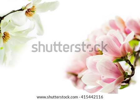 asian type of magnolia wildly blossoming during spring time in Europe on white background