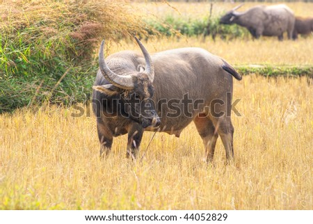 Asian Water Buffalo in his habitat, near Mekong river, Cambodia. - stock photo