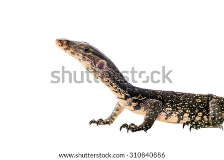 Asian Water Monitor isolated on a white background - stock photo