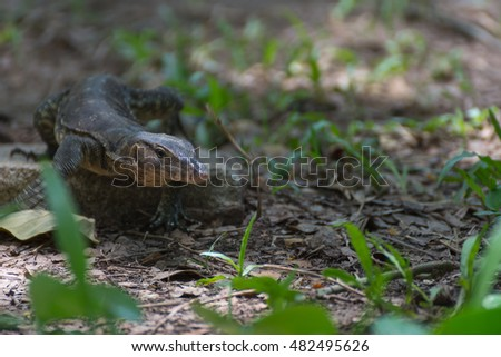 Asian water monitor lizard outdoor nature in a park