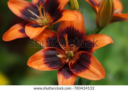 "Asiatic beautiful garden lily ""Forever Susan"" on natural  green background."