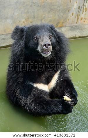 Asiatic black bear - stock photo