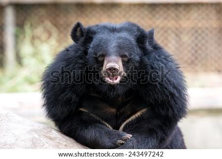 Asiatic black bear close up - stock photo