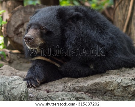 asiatic black bear in wildlife