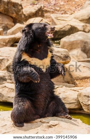 asiatic black bear near the pool - stock photo
