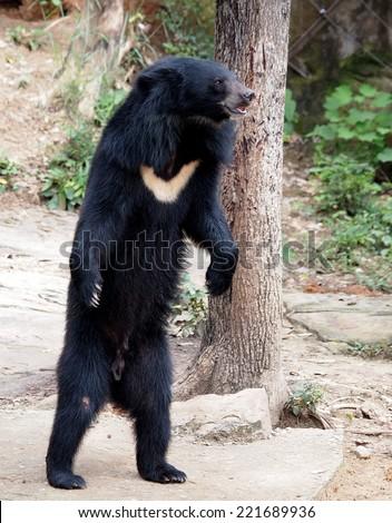 Asiatic black bear, Tibetan black bear, Ursus thibetanus, large tropical asian bear standing on two legs showing black fur and white V shape fur on the bust - stock photo