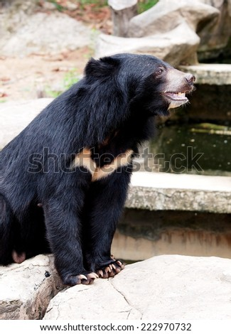 Asiatic black bear, Tibetan black bear, Ursus thibetanus, large tropical asian bear with black fur and white V shape fur on the bust close up  - stock photo