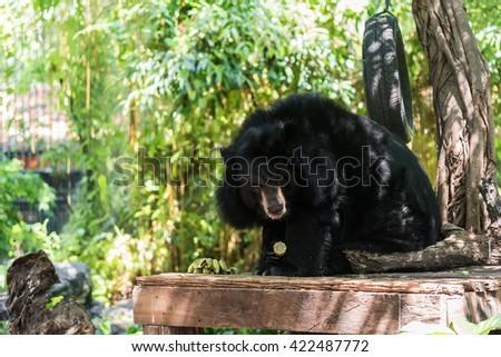 Asiatic black bear (Ursus thibetanus) eating corn. - stock photo