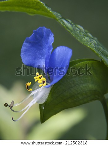 Asiatic Dayflower of Kentucky - stock photo